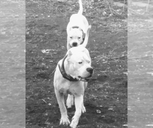 Main photo of Dogo Argentino Dog Breeder near PUEBLO, CO, USA