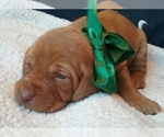 Vizsla Breeder in DUNLAP, IA, USA