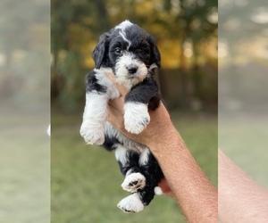 Bernedoodle-Poodle (Standard) Mix Dog Breeder in PILOT POINT,  USA