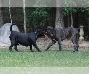Main photo of Cane Corso Dog Breeder near CHARLOTTE, NC, USA