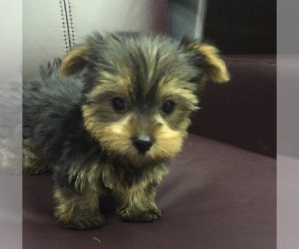 Yorkshire Terrier Maltese And Shih Tzu Dog Breeder In Brooklyn New