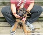 German Shepherd Dog Breeder in ALLEGAN, MI