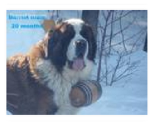 Saint Bernard Breeder in DELTA JUNCTION, AK, USA