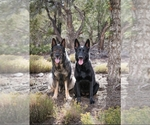German Shepherd Dog Breeder in Las Vegas, NV
