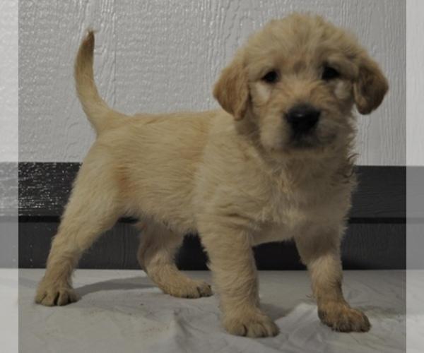 Bernese Mountain Dog Maltese Labradoodle Pomeranian Bernedoodle Faux Frenchbo Bulldog And