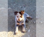 Australian Cattle Dog Breeder in BLACKFOOT, ID, USA