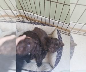 Main photo of Schnauzer (Miniature) Dog Breeder near MACON, VA, USA