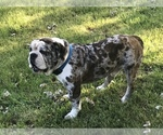 Olde English Bulldogge Breeder in ONEIDA, IL, USA