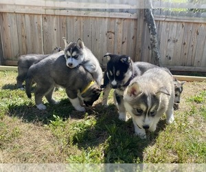 Siberian Husky Dog Breeder in CLAYTON,  USA