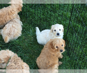 Main photo of Goldendoodle Dog Breeder near KINGSVILLE, MO, USA