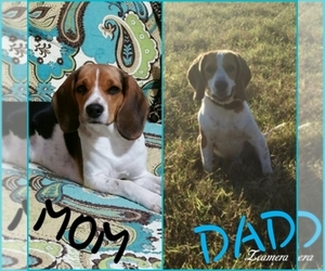 Beagle Breeder in EDGEWOOD, TX