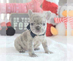 Main photo of French Bulldog Dog Breeder near FORT LAUDERDALE, FL, USA