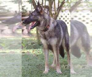 Main photo of German Shepherd Dog Dog Breeder near MOUNT DORA, FL, USA