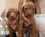 Vizsla Breeder in GERMANTOWN, WI, USA