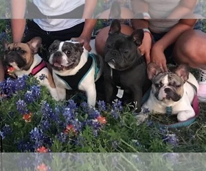 Main photo of French Bulldog Dog Breeder near WAXAHACHIE, TX, USA
