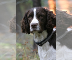English Springer Spaniel Breeder in Oldtown, ID