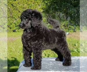Main photo of Poodle (Standard) Dog Breeder near STOCKTON, CA, USA