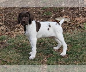 Main photo of German Shorthaired Pointer Dog Breeder near BLAINSPORT, PA, USA