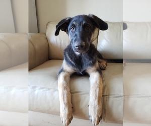 Main photo of German Shepherd Dog Dog Breeder near HAYWARD, CA, USA