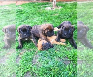 Bullmastiff Breeder in BRENTWOOD, CA