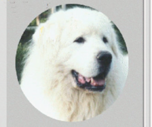 Great Pyrenees Breeder in MAYNARD, AR, USA