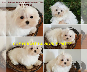 Main photo of Maltese Dog Breeder near WEST HOLLYWOOD, CA, USA