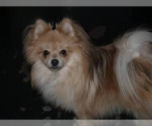 Main photo of Pomeranian Dog Breeder near HOUSTON, TX, USA