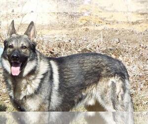 Main photo of German Shepherd Dog Dog Breeder near FARMINGTON, IL, USA