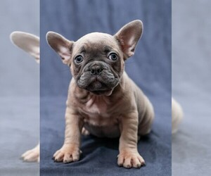 Main photo of French Bulldog Dog Breeder near WILDOMAR, CA, USA