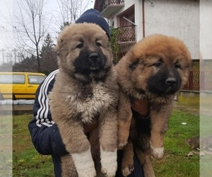 Caucasian Shepherd Dog Dog Breeder in DES MOINES,  USA
