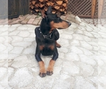 Doberman Pinscher Breeder in Windsor, CA