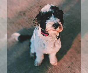 Portuguese Water Dog Dog Breeder in OVERLAND PARK,  USA