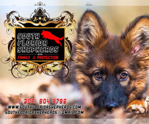 German Shepherd Dog Dog Breeder in MIAMI,  USA