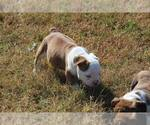 English Bulldog Breeder in FRISCO, TX, USA