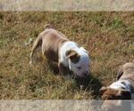 English Bulldog Breeder in FRISCO, TX, USA