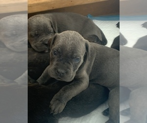 Cane Corso Dog Breeder in LAKE HILLS,  USA
