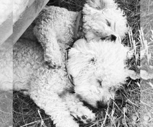 Main photo of Bichon Frise Dog Breeder near JENSEN, UT, USA