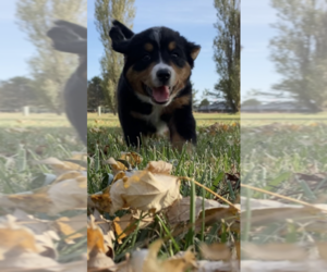 Bernese Mountain Dog Dog Breeder near ATKINSON, NE, USA