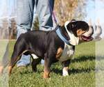 Olde English Bulldogge Breeder in CADOTT, WI
