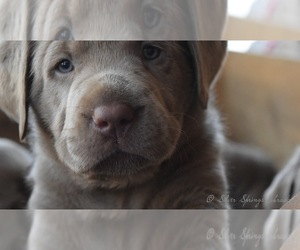 Labrador Retriever Breeder in BUTLER, OH