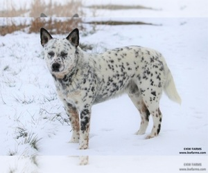 Main photo of Australian Cattle Dog Dog Breeder near WAPATO, WA, USA