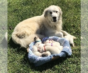Great Pyrenees Dog Breeder near HAYMAKERTOWN, VA, USA