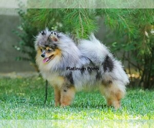 Main photo of Pomeranian Dog Breeder near DENVER, CO, USA