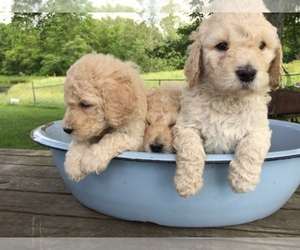 Main photo of Australian Labradoodle-Goldendoodle Mix Dog Breeder near WESTPORT, IN, USA