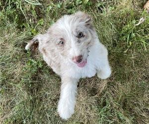 Aussiedoodle Dog Breeder in GLENALLEN,  USA