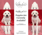 English Cream Golden Retriever Breeder in KERSEY, CO, USA