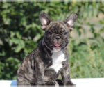 French Bulldog Breeder in CHICAGO, IL, USA