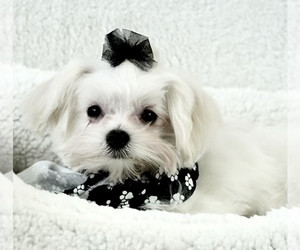 Maltese Dog Breeder in WESTMINSTER,  USA