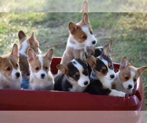 Main photo of Pembroke Welsh Corgi Dog Breeder near GREENVILLE, OH, USA