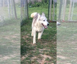 Siberian Husky Dog Breeder near PALESTINE, WV, USA